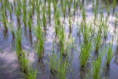 Beginning rice Royalty Free Stock Photography