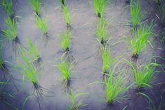 Beginning rice Stock Images