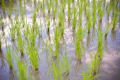 Beginning rice Stock Photography