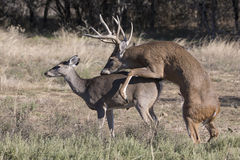 The beginning stage of whitetail reproduction Royalty Free Stock Image