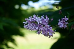 Beautiful gentle lilac in blooming time stock image