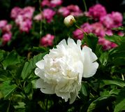 The beginning of the summer gives us the trouble to observe the flowering of peonies. Stock Images