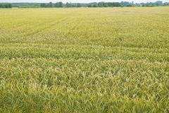 A huge field sown with rye Royalty Free Stock Photos