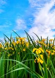 Meet swamp iris royalty free stock photos