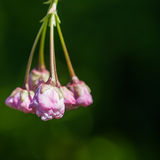 Beginning To Bloom. Cherry blossom buds begin their journey into bloom stock photography