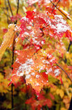 Beginning of Winter. Snow flakes cling to red and yellow leaf in Upper Penninsula, Michigan, signalling the beginning of Winter Royalty Free Stock Image