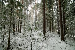 The beginning of winter in the Altai forest. Russia Royalty Free Stock Image