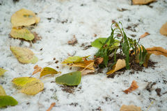 Beginning of winter, end of autumn, leaves under snow. Frozen Stock Images