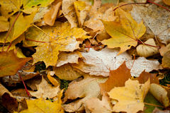 Beginning of winter, end of autumn, leaves under snow. Frozen Royalty Free Stock Photography