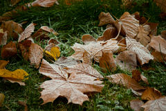 Beginning of winter, end of autumn, leaves under snow. Frozen Royalty Free Stock Photo