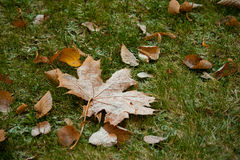 Beginning of winter, end of autumn, leaves under snow. Frozen Royalty Free Stock Image