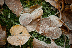 Beginning of winter, end of autumn, leaves under snow. Frozen Stock Photography