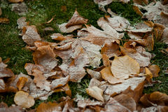 Beginning of winter, end of autumn, leaves under snow. Frozen Stock Photos