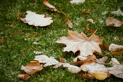 Beginning of winter, end of autumn, leaves under snow. Frozen Stock Image
