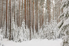 Beginning of winter. Landscape. Pine-tree forest in beginning of winter Stock Image