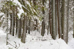 Beginning of winter. Landscape. Pine-tree forest in beginning of winter Stock Photos