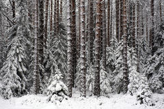 Beginning of winter. Landscape. Pine-tree forest in beginning of winter Stock Photo