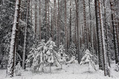 Beginning of winter. Landscape. Pine-tree forest in beginning of winter Stock Images