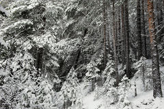 Beginning of winter. Landscape. Pine-tree forest in beginning of winter Royalty Free Stock Photography