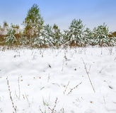Beginning of winter, snowdrifts. Pines, grass Stock Photo