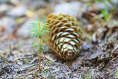 Beginning of young spruce tree life Royalty Free Stock Photos