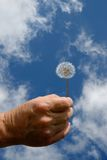 Beginnings and Endings. Elderly hand holding a seeded dandelion against the sky Royalty Free Stock Photos