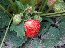 Begint met het seizoen van rijpende aardbeien Stock Fotografie
