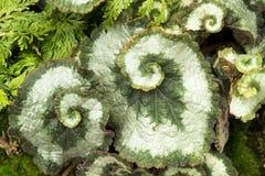 Begoni Mendumiae liście zamknięci w górę obraz stock