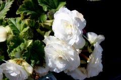 Begoni tuberhybrida 'New Star biel' Zdjęcie Royalty Free