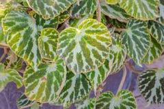 Begonia βιογραφικό σημείωμα Ασημένιο φύλλο Jewell στοκ εικόνες με δικαίωμα ελεύθερης χρήσης