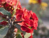 Begonia, η κινεζική ανθίζοντας καβούρι-Apple στο κόκκινο χρώμα Στοκ Φωτογραφία