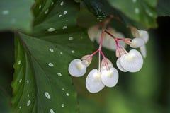Begonia λουλουδιών στοκ εικόνες