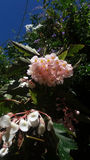 Begonia λουλούδια και jasmine με το μπλε ουρανό Στοκ Εικόνες