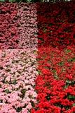 Begonia λουλούδια Στοκ φωτογραφία με δικαίωμα ελεύθερης χρήσης