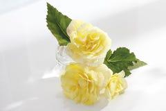 Begonia λουλούδια (Begonia) Στοκ εικόνα με δικαίωμα ελεύθερης χρήσης