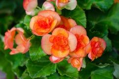 begonia λουλούδι στοκ φωτογραφία με δικαίωμα ελεύθερης χρήσης