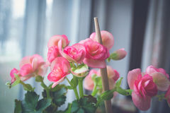 begonia λουλούδι Στοκ Εικόνες