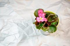 Begonia δοχείο στο υπόβαθρο της Λευκής Βίβλου ρυτίδων στοκ εικόνες