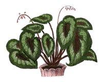 Begonia παλαιά βοτανική χάραξη Rex Στοκ Εικόνα