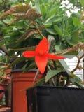 Begonia πυρκαγιάς στοκ εικόνες