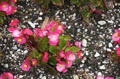 begonia ροζ Στοκ φωτογραφία με δικαίωμα ελεύθερης χρήσης