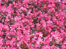 begonia τάπητας Στοκ φωτογραφίες με δικαίωμα ελεύθερης χρήσης