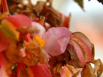 Begonia φτερών αγγέλου λουλούδι Στοκ Φωτογραφίες