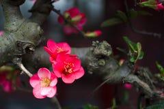 Begonia Imagen de archivo libre de regalías