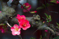 Begonia Immagine Stock Libera da Diritti