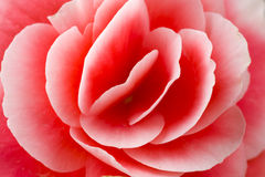 Begonia Royalty Free Stock Images
