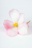 Begonia. Bloom softly unfurled in pink white and yellow hues royalty free stock images