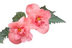 Begonia. Stock Afbeelding