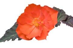 Begonia. Stock Afbeeldingen