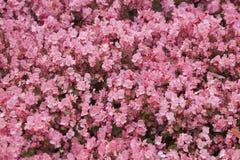 begonia στοκ φωτογραφία